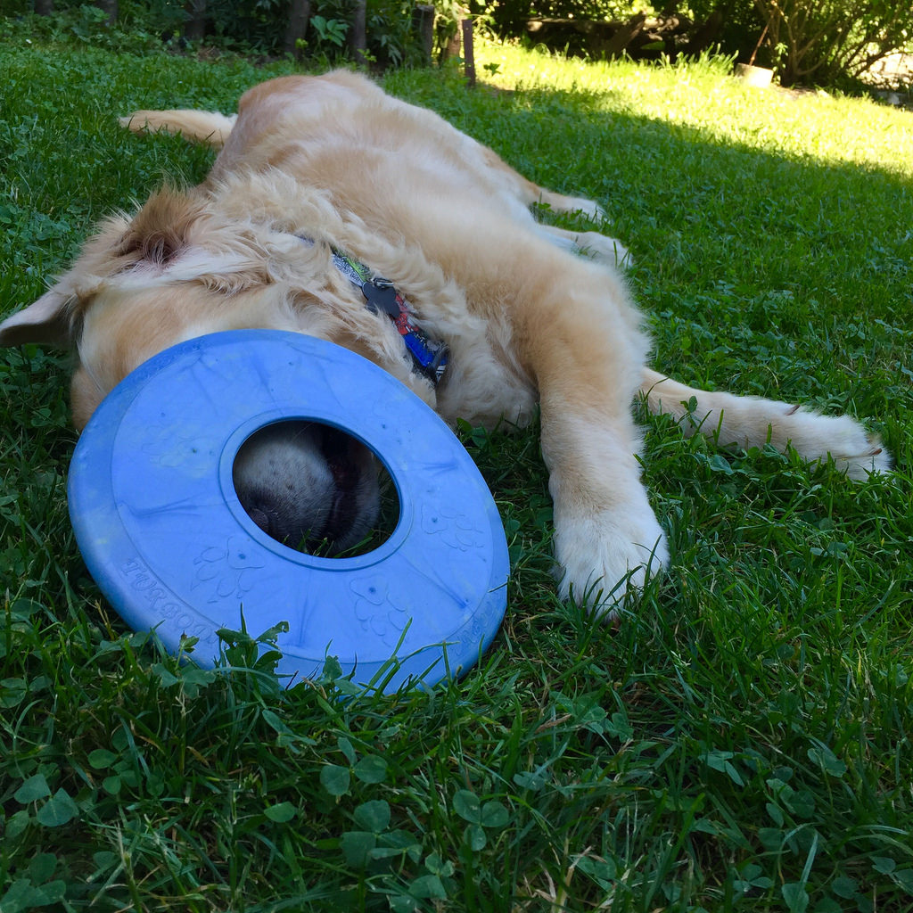pies leży na trawie z pyskiem pod frisbee - jak opiekować się szczeniakiem